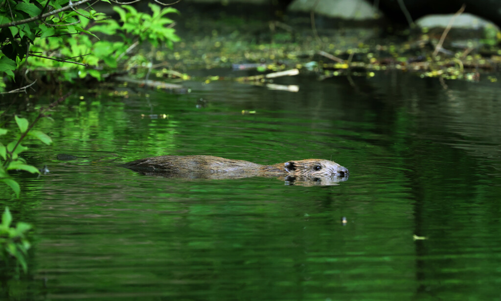 Denne beveren har tatt seg til rette og tilsynelatende gjort Frognerparken til sitt nye habitat. Foto: Ørn E. Borgen / NTB scanpix