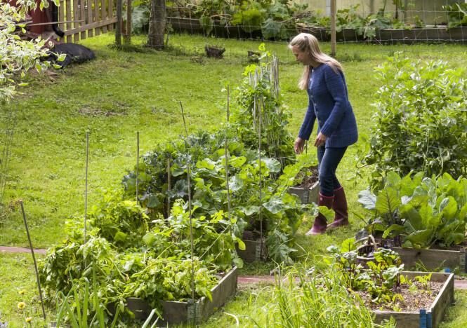 <strong>DYRKE I PALLEKARMER:</strong> Pallekarmer, som du blant annet får kjøpt på hagesentre og i hjemmefikser-kjeder, er populære i kjøkkenhager. I stedet for å fylle dem med kjøpt plantejord, tipser Liza Franke om at du bare kan fjerne gresstorven under dem og tilsette litt kompost eller gammel møkk fra hest, høns eller kyr. Fyll gjerne på litt mer hvert år. FOTO: Lizas Småbruk