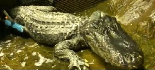«Hitlers alligator» (84) er død
