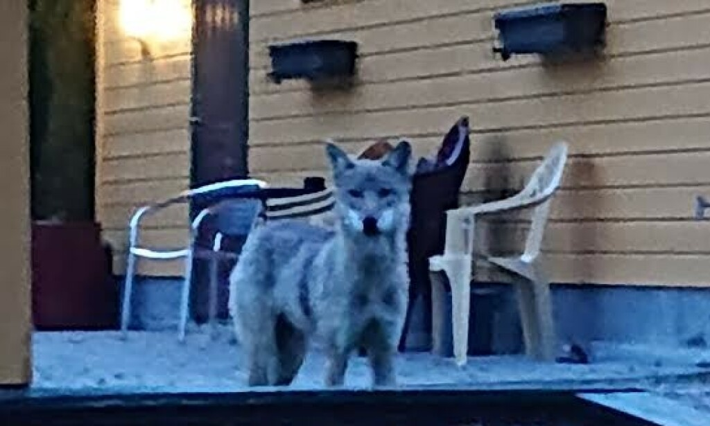 ULV: I 22.30-tida på lørdag dukket dette firbeinte dyret opp i et boligfelt på Fagerstrand på Nesodden. Foto: Andreas Pedersen