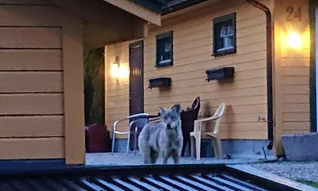 FEM METER UNNA: I ett minutt stod ulven og så på Pedersen. Foto: Andreas Pedersen