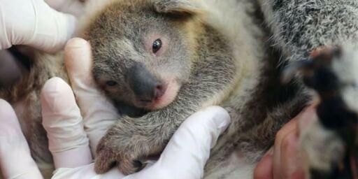 image: Første koala født siden skogbrannen