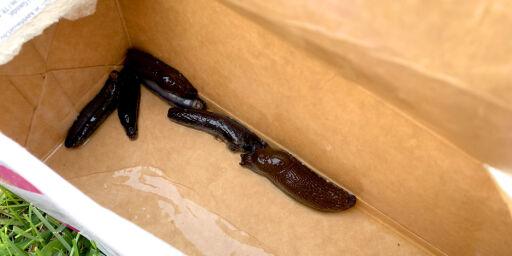 image: Ta brunsneglene med en felle