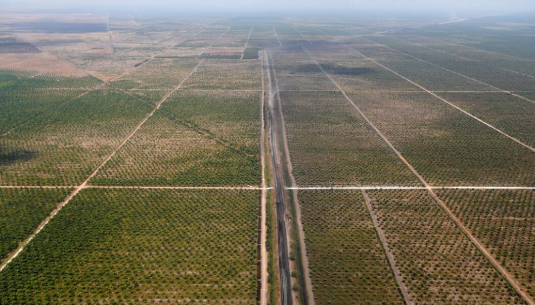 PALMEOLJE: Dette er en av mange enorme palmeoljeplantasjer i landet. Foto: Willy Kurniawan / Reuters / NTB Scanpix