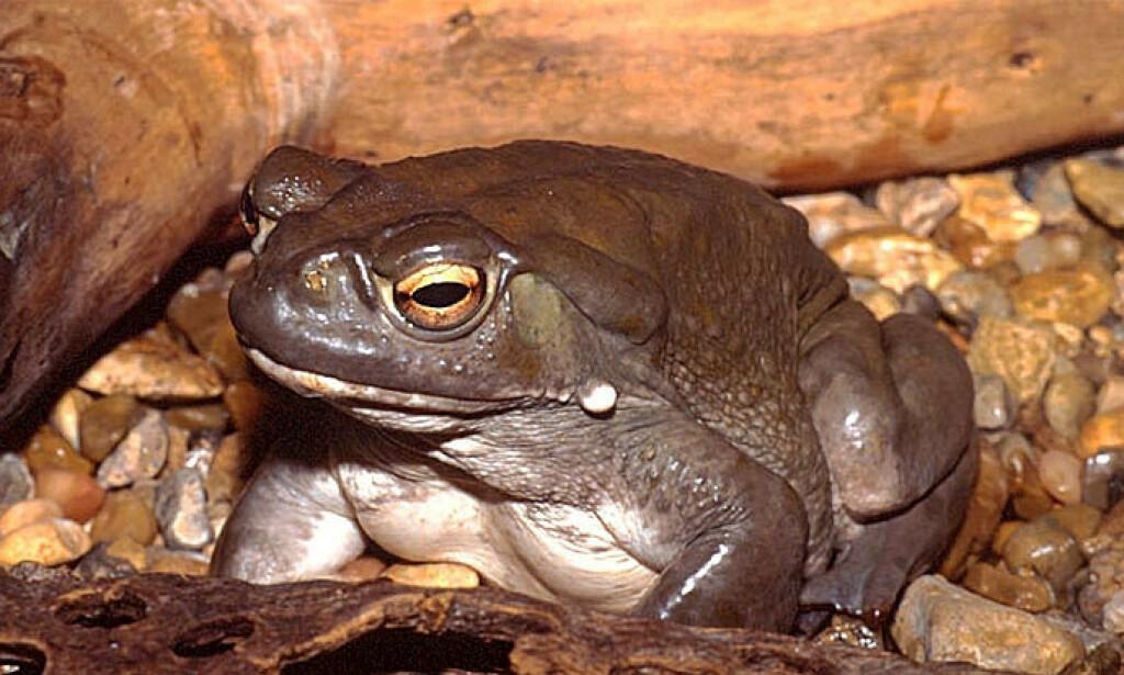 GIFTIG PADDE: Colorado-padda, også kjent som Sonoran-ørkenenpadde, finnes i det nordlige Mexico og det sørvestlige USA. Giften inneholder 5-MeO-DMT og stoffet bufotenin, som tok livet av en fotograf. Nå er tre spanjoler arrestert for drap - en av dem en pornoskuespiller. Foto: Joan Valencia / Flickr / Creative Common