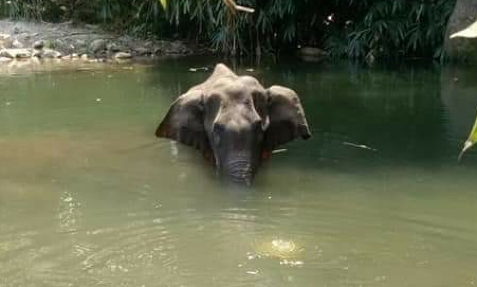 UBEVEGELIG: Den drektige elefanten sto fire dager i elva, før hun døde. Foto: Twitter/Kerala Forest Department