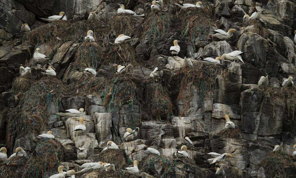 MILJØPROBLEM: Havsulene på Runde bygger reder av søppel de finner i havet. Foto: Roger Brendhagen