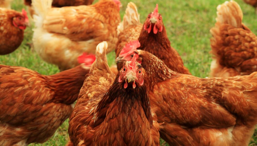 INVASJON: Innbyggerne trodde de var kvitt hønseproblemet sitt i slutten av mars, det var de dessverre ikke. Foto: Shutterstock