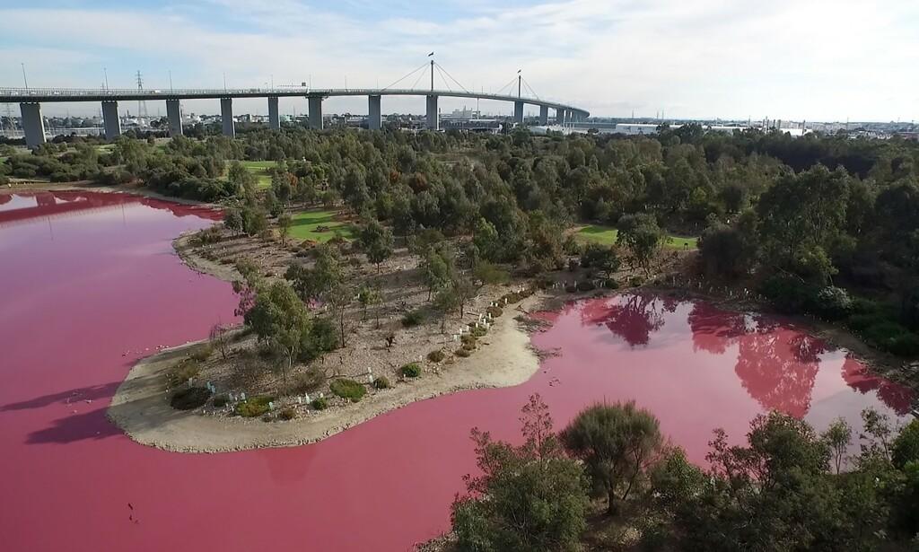 I AUSTRALIA: Innsjøen i Westgate Park i Melbourne blir hvert år rosa, tiltrekker seg mange skuelystne. Foto: AFP PHOTO / PARKS VICTORIA / NTB scanpix