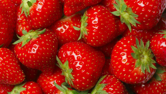 Nå kommer ny norsk jordbærsort