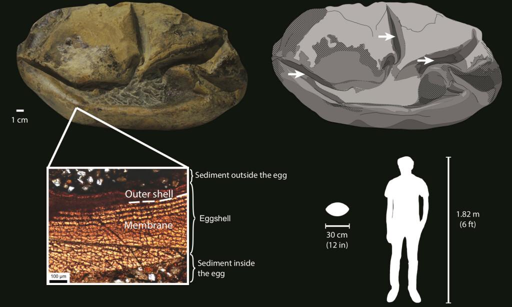 MYKE: De første dinosaureggene hadde mykt skall, konkluderer en museumskurator. Foto: NTB Scanpix