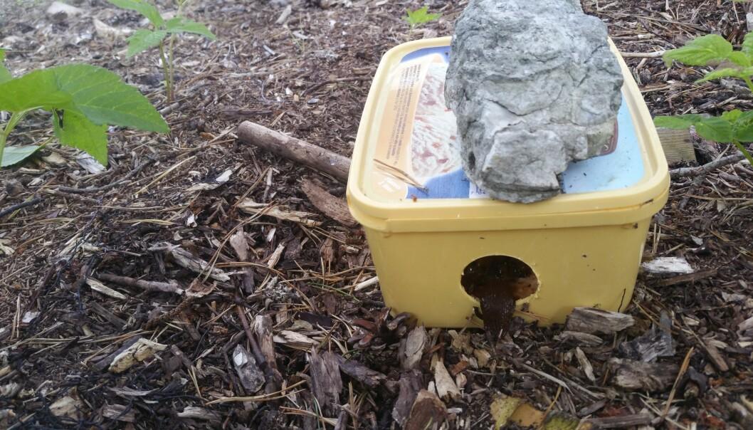 En brunsnegl på vei inn i en hjemmelaget sneglefelle. Når den kommer ut igjen, er den full av sneglemiddel som vil ta livet av ikke bare den, men alle brunsneglene som spiser av sin døde artsfrende. Foto: Mai-Therese Halle