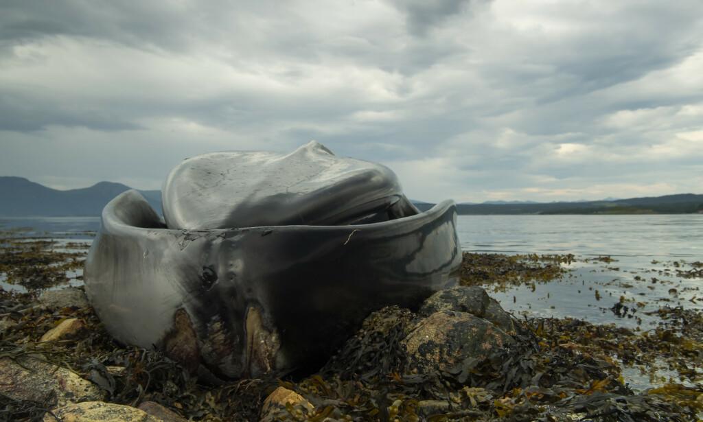 SKAL FLYTTES: Vestnes kommune har søndag kontaktet Kystverket og Fiskeridirektoratet, som skal ta seg av hvalskrotten. Foto: Roger Brendhagen