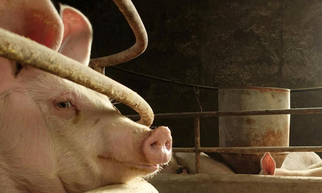 NYTT VIRUS: Kinesiske forskere har funnet et nytt virus hos griser i Kina. Foto: REUTERS/Ryan Woo/File Photo