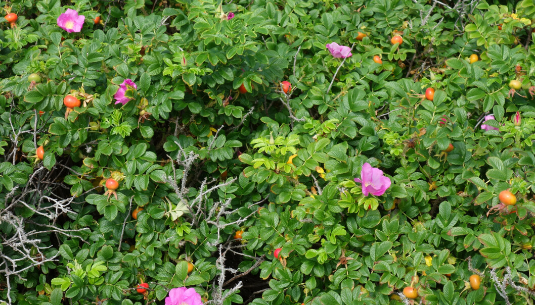 Rynkerose vokser fort til store busker med rosa blomster og nyper med frø. Foto: W.Carter/Wikimedia Commons