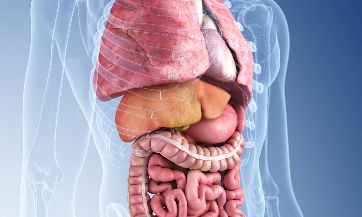 INDRE ORGANER: Illustrasjonen viser de ulike indre organene i brystkassen og buken. Foto: NTB Scanpix / Shutterstock