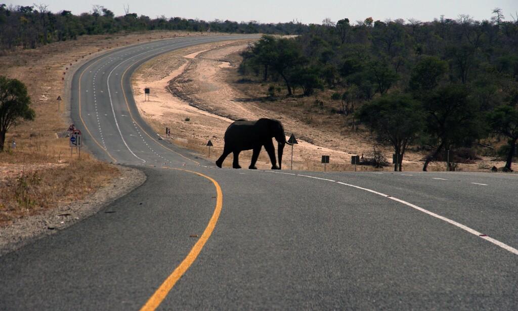 UTBREDT: En elefant krysser hovedveien som går fra Botswana til Zambia i nord-Botswana. Det anslås å være omkring 130 000 elefanter i Botswana i dag. Foto: AP