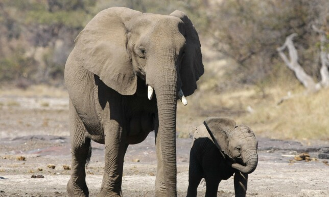 ETTERTRAKTET: Elefantenes støttenner består av elfenben, noe som er ettertraktet på de asiatiske markedene. Foto: NTB Scanpix
