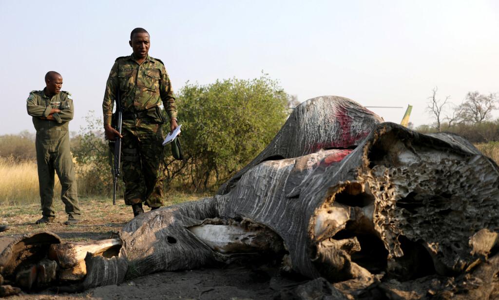 DØD: Krypskyttere er blant de aller største farene for elefantene. Nå er det imidlertid noe annet som truer dem. Dette bildet er tatt i september 2018 i forbindelse med at det ble oppdaget skrypskyttere. Foto: Reuters/ NTB Scanpix
