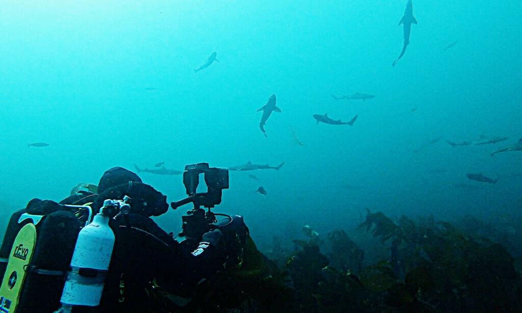 image: Norge: Omringet av hundrevis av haier