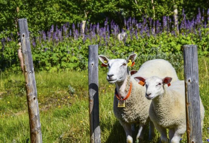 BÆÆ: Få nærkontakt med sauer og andre gårdsdyr gjennom nettverket WWOOF. Medlemskapet koster noen hundrelapper, men oppholdet med gårdene er gratis. FOTO: Ronny Frimann