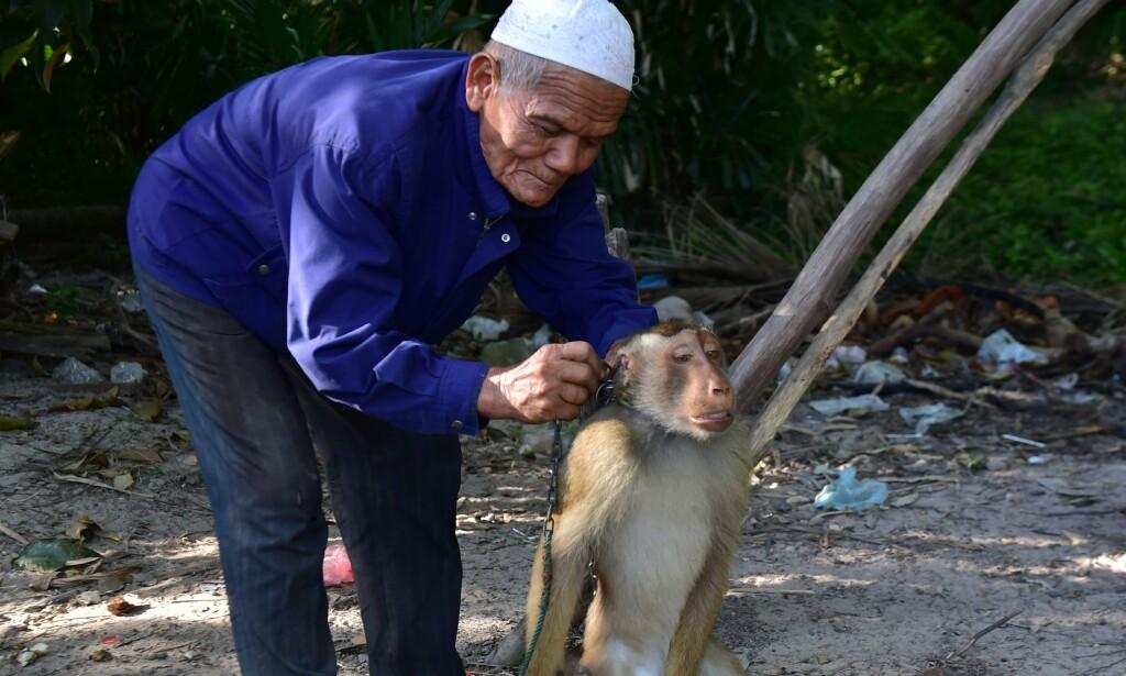 LENKE: Før apene klatrer opp i trærne for å sanke kokosnøtter får de på seg en metallenke rundt halsen. Foto: AFP