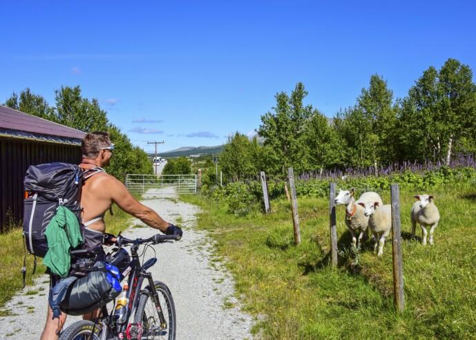 BÆ: Du får oppleve det norskeste av det norske på sykkelferie på Dovre. FOTO: Torild Moland