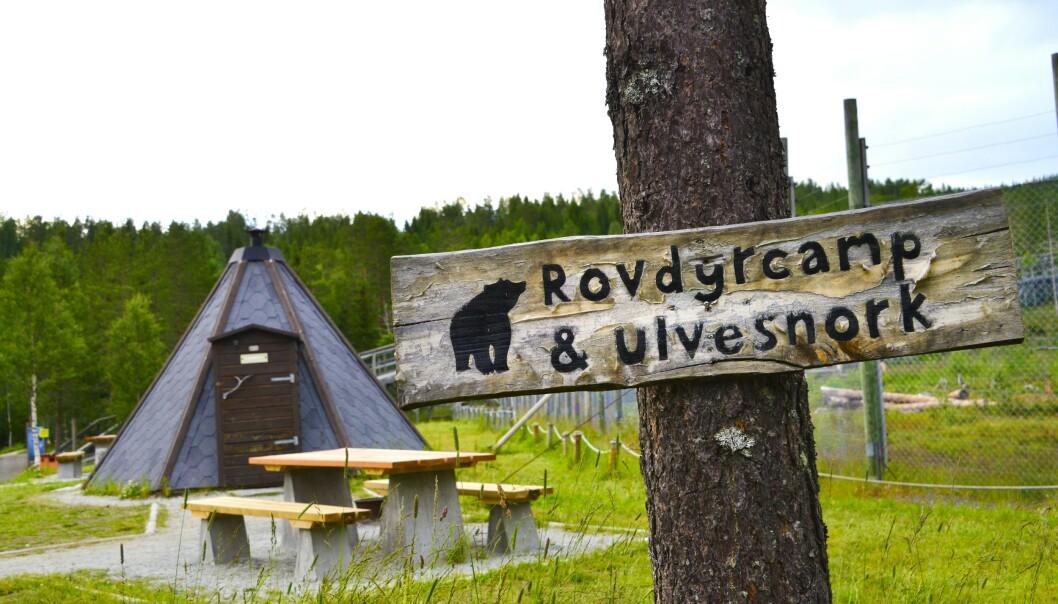 TETT PÅ: Namsskogan familiepark leier ut en gamme som står rett utenfor gjerdet til ulveinnhegningen. Kanskje hører du ulvesnork? FOTO: Torild Moland