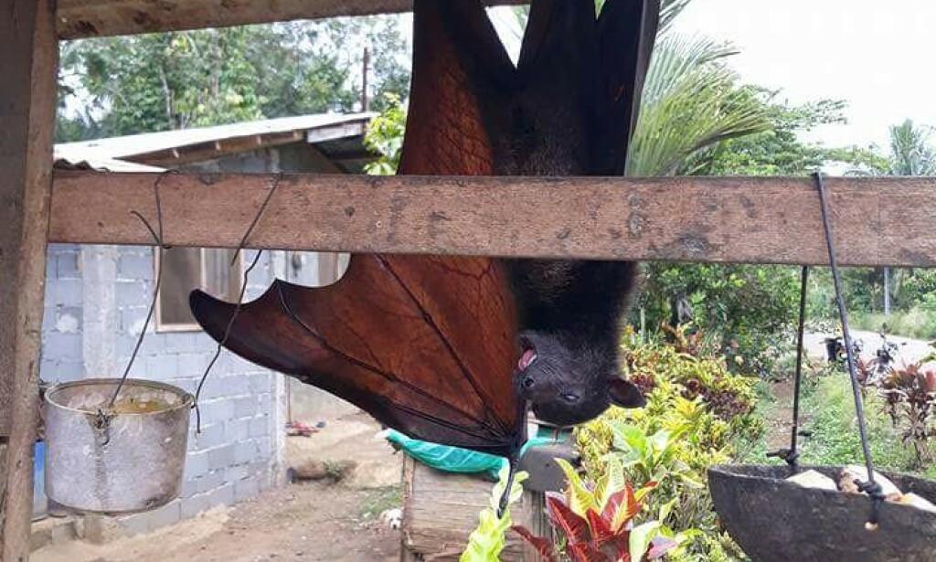 FRA ANNEN VINKEL: Flaggermusen ser ikke like stor ut i denne vinkelen. Foto: Sakundes/Reddit