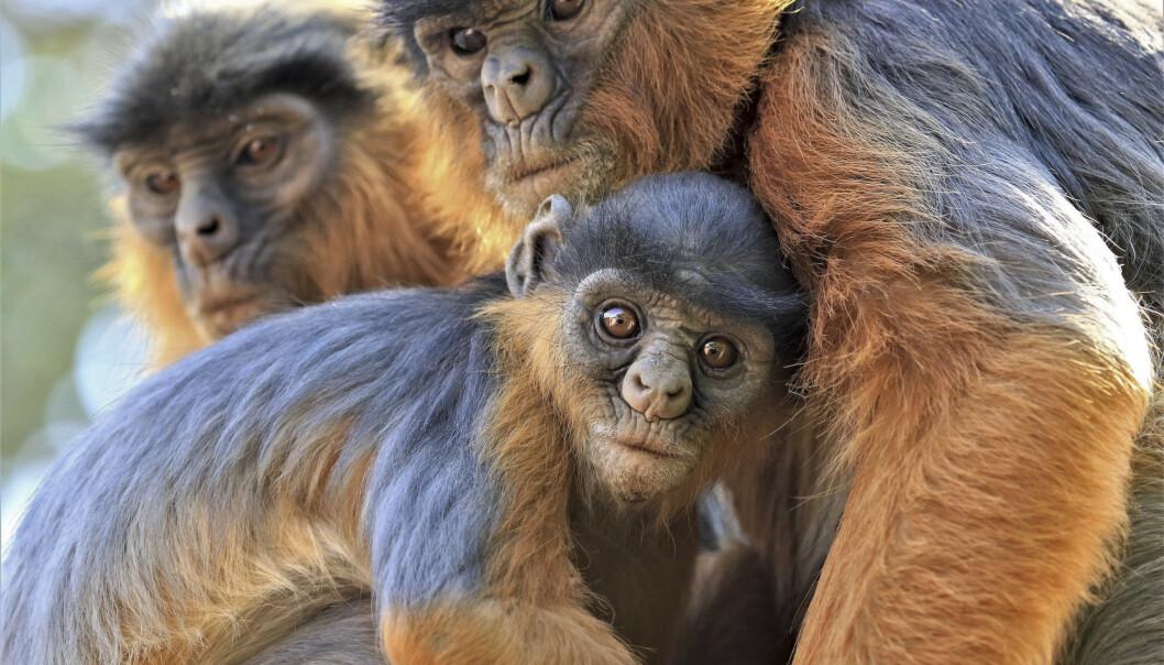 Red Colobus-apen-apen er en av flere arter i Afrika som er utrydningstruet som følge av avskoging. Foto: Mic Mayhew/IUCN via AP / NTB scanpix