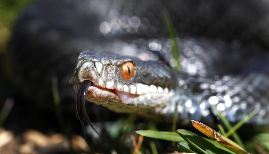Hoggorm (vipera berus) er en av tre ormer i norsk fauna og den eneste giftige slangen. Hoggormen er fredet i Norge, men ikke utrydningstruet. Foto: Cornelius Poppe / NTB scanpix
