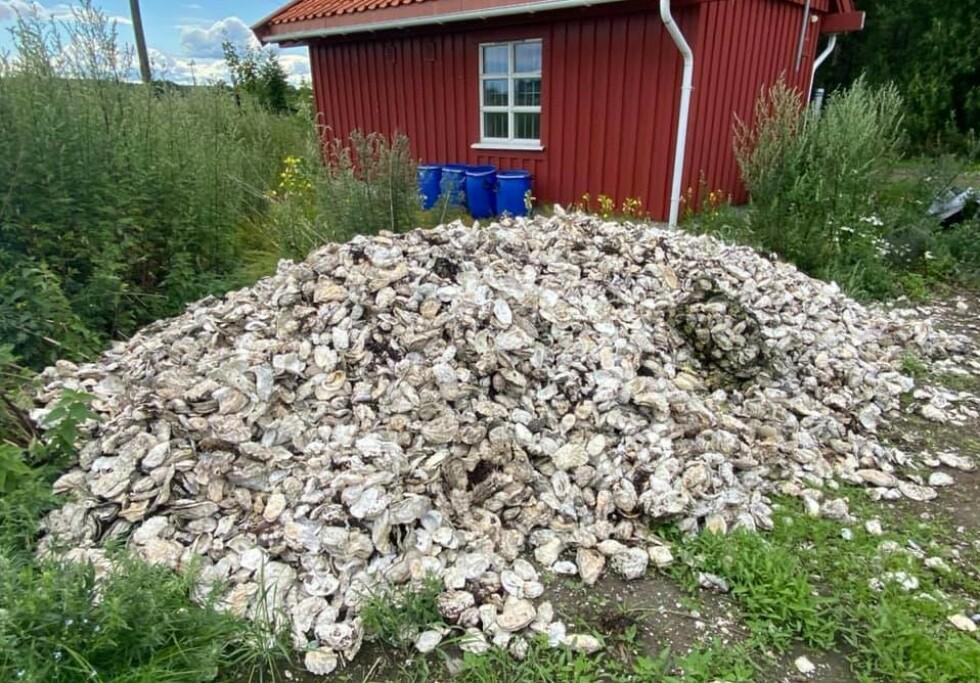 STORE MENGDER: Strender i Vestfold og Telemark er ryddet for store mengder stillehavsøsters. Foto: Østersdugnaden