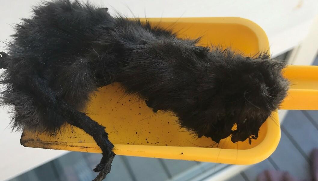 LITEN: - Den var veldig liten, trolig nyfødt. Jeg tok den ut av grillen, og den fikk plass på en liten spade, sier Egeland om den døde katten. Foto: Privat