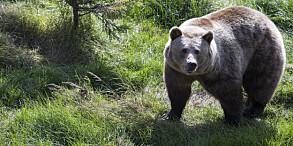 Image: Vil ikke skyte bjørn - flytter den
