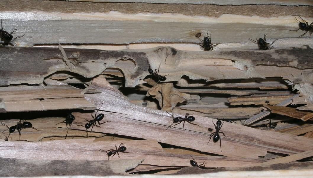 <strong>STOKKMAUR:</strong> Stokkmaur er én av tre typer trespisende insekter som kan finnes i huset ditt. Stokkmaur gnager ganger for å gjøre plass til bolig. Foto: Norsk Hussopp Forsikring.