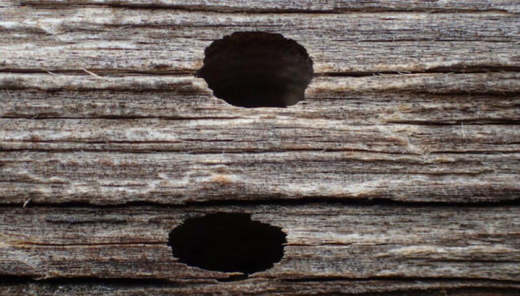 <strong>ANGREPET AV HUSBUKK:</strong> Flygehull lages av husbukklarve. Her ser du at hullet har mørk inntoning som tyder på at det er et gammelt angrep. Foto: Mycoteam.
