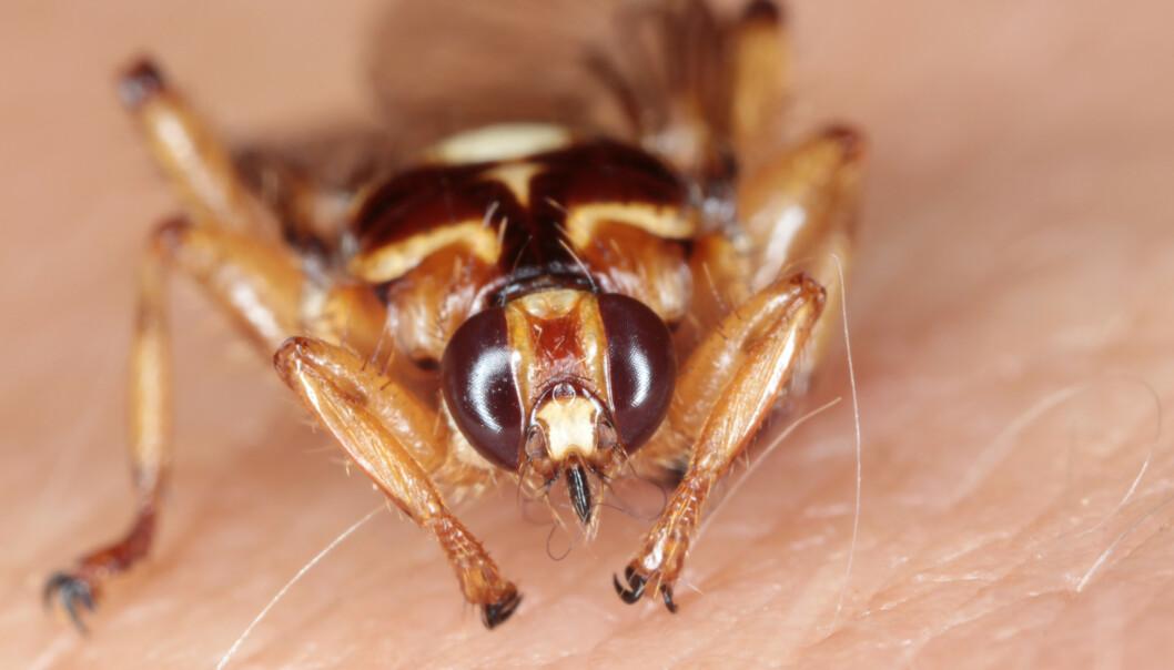 <strong>BLODSUGER:</strong> Hjortelusflua er en blodsugende parasitt som flyr rundt og leter etter en vert fra august og utover høsten. Er du skikkelig uheldig, kan du bli beleiret av opptil 50 fluer. De kravler rundt i hår og innafor klær og kan også bite - selv om det ikke er så vanlig. Det som oppleves som verst med denne blodsugeren er den innpåslitne kravling i hår og under klær. Foto: Shutterstock/NTB scanpix