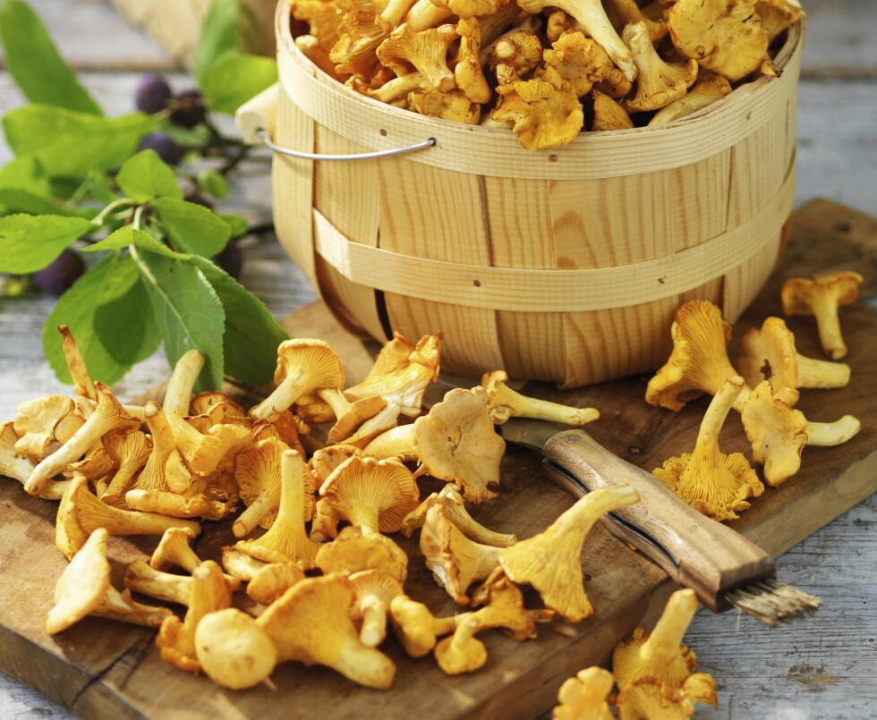 <strong>Kantarellen:</strong> Den gyllengule soppen lyser i skogen og er en av de sikreste og beste matsoppene. Foto: Aller Media