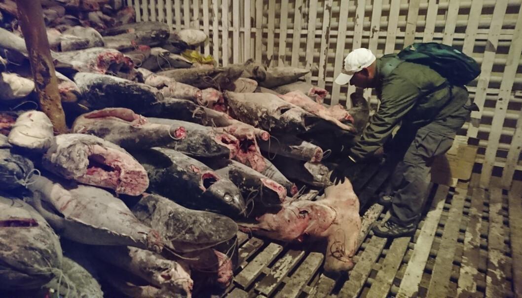 <strong>BESLAG:</strong> Ecuador tok i 2017 beslag på et skip som inneholdt 6000 frosne haier, ifølge National Geographic. Foto: Galapagos National Park / AP / NTB Scanpix.