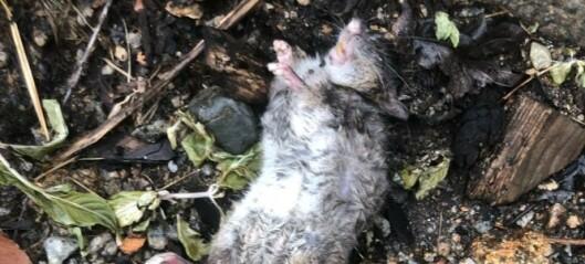 Nå trekker rotter og mus inn i hus