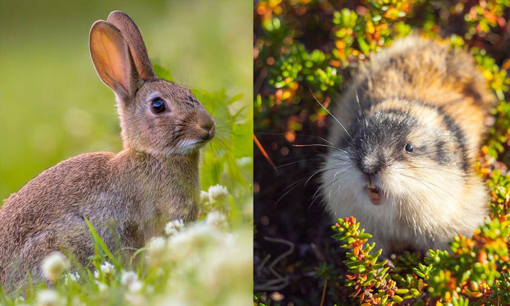 HAREPEST: Det er ikke bare harer, men også andre smågnagere som lemen, mus, bever og mygg som kan overføre tularemi til mennesker.. Foto: NTB Scanpix/Shutterstock