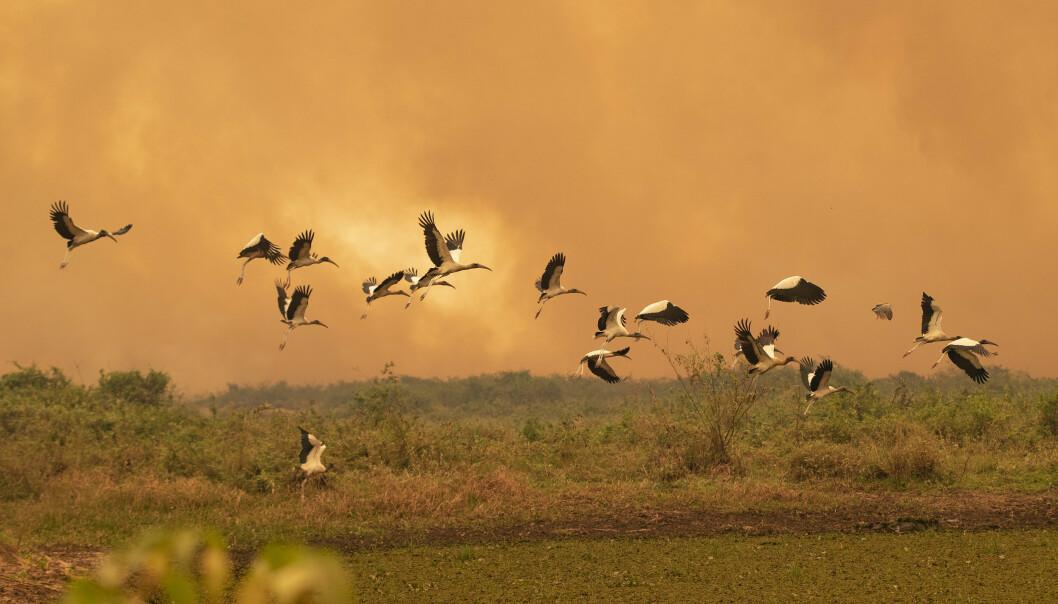 Pantanal er kjent for et rikt fugleliv som nå rammes av voldsomme branner i den tørkerammede våtmarken. Her ved Transpataneira-veien i nærheten av Pocone. Foto: Andre Penner / AP / NTB scanpix