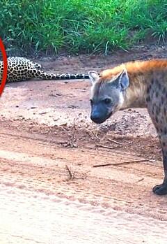 Image: Ser ikke hyenen