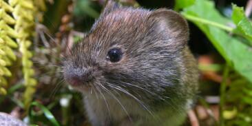 Image: Overraskende mye mus på Østlandet