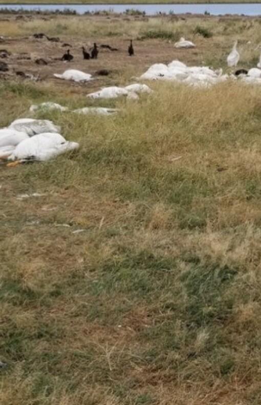 Her døde over 10.000 fugler etter haglvær