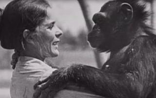 Image: Linda reddet sjimpansen Swing fra fangenskap. Etter 25 år møttes de igjen ...