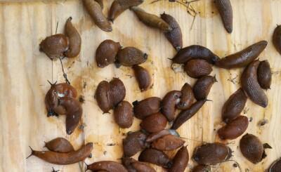 Image: Nabolag tok kampen mot brunsneglen