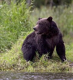 Image: Drept av grizzly