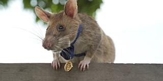 Image: Rotte dekorert med gullmedalje for heltemot og tapperhet
