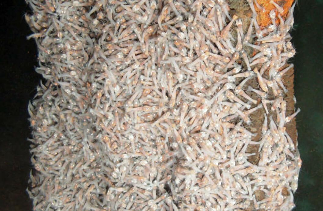 KOKTE REKER? Rekene, som er en hittil ukjent art, opptrer i enorm antall. Forskerne har telt rundt 2000 per kvadratmeter rundt de varme ventilene som spyr ut over 400 grader varmt vann. Foto: University of Southampton/NOC